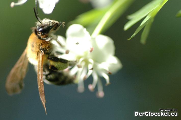 Rettet die Bienen - ein Appell vom Nachrichtenmagazin DER GLÖCKEL