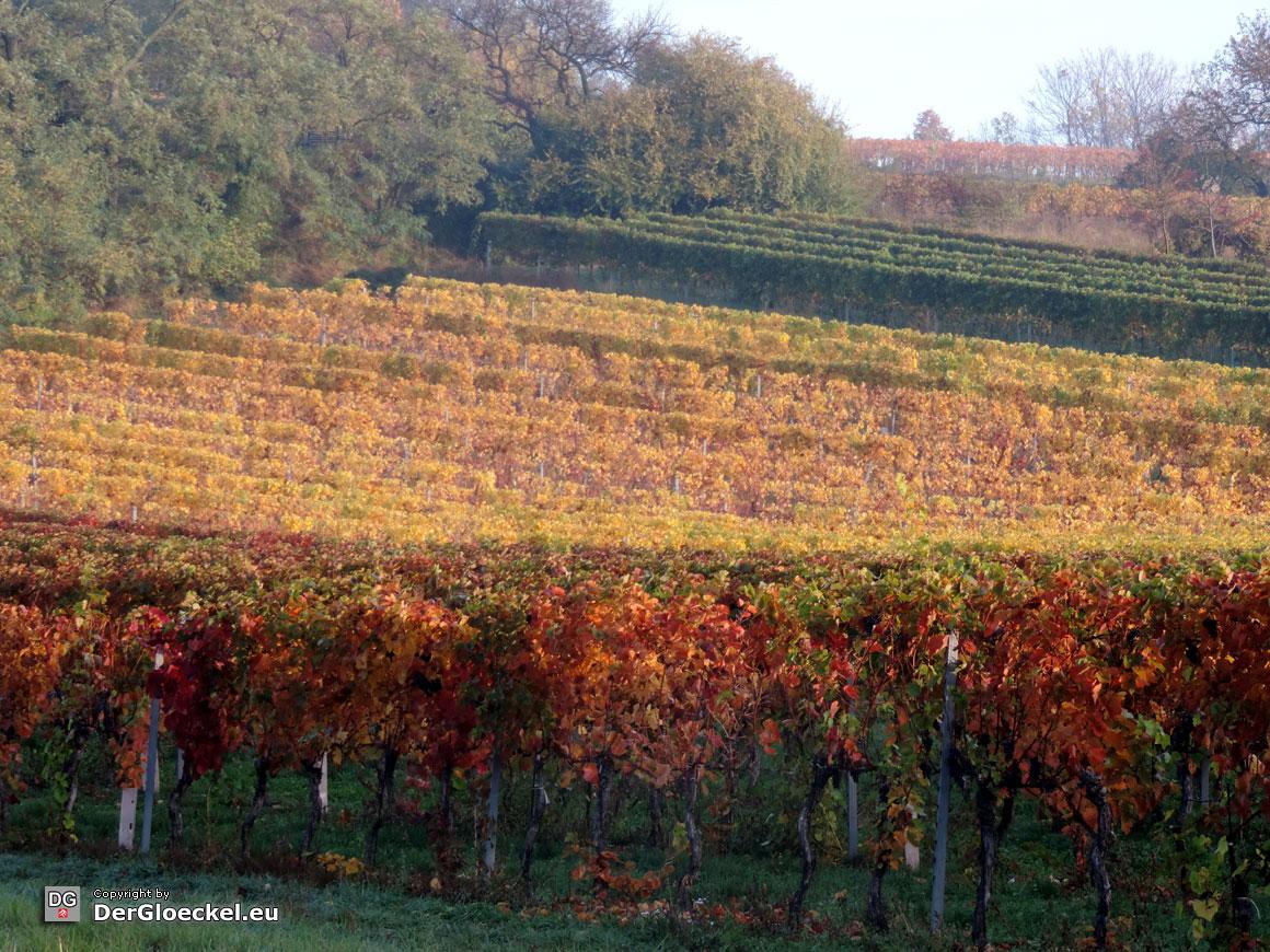 sortenreiner Weinanbau | Foto: DerGloeckel.eu