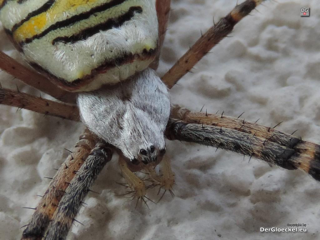Wespenspinne Weibchen | Foto: DerGloeckel.eu