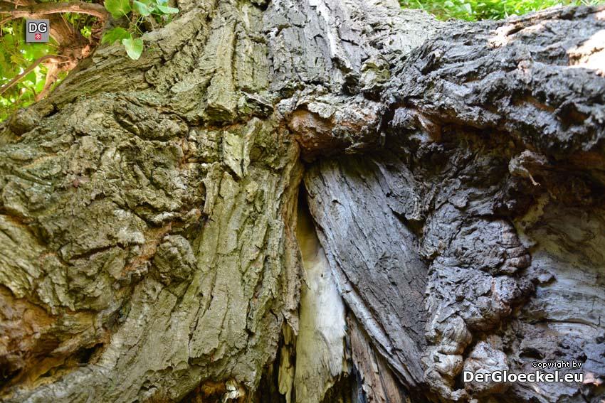 Ein Baum am Ende seines Lebens | Foto: DerGloeckel.eu
